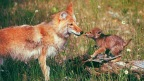 #Environment, #Humanity and #Coywolves